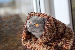 Un purosangue lavora all'uncinetto negli sguardi di una sciarpa fuori la finestra al sole Fotografia Stock