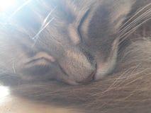 Un pussycat nel suo sogno profondo fotografia stock libera da diritti