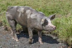 Un qué cerdo afortunado Fotos de archivo libres de regalías