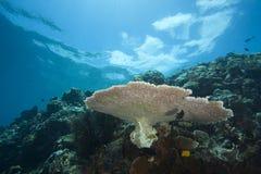 Un récif coralien tropical outre d'île de Bunaken Photos stock