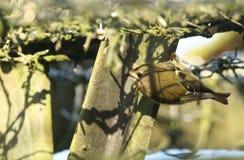 Un régulo imponente del régulo de Goldcrest encaramó al revés en el alambre de púas Está buscando para que los insectos coman Fotografía de archivo libre de regalías