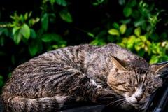 Un rêve doux du chat rayé brun paresseux fixant sur le pare-brise de voiture Photo libre de droits