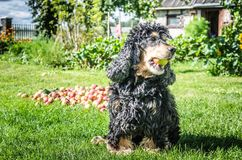 Un raccolto della mela e del cane nel giardino Fotografia Stock