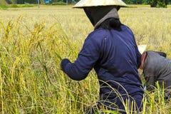 Un raccolto di due agricoltori Immagini Stock