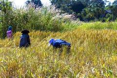 Un raccolto di tre agricoltori Fotografie Stock Libere da Diritti