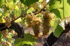 Un racemation des raisins Image stock