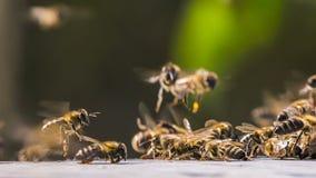 Un racimo de abejas grande recolectó en un grupo almacen de metraje de vídeo