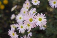 Un racimo de margaritas rosadas Fotografía de archivo libre de regalías