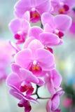 Un racimo de orquídeas rosadas Imagen de archivo libre de regalías
