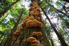 Un racimo de setas de ostra salvajes que crecen en un árbol en el bosque Imágenes de archivo libres de regalías