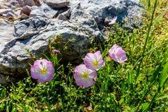 Un racimo de Texas Pink Evening Primrose Wildflowers cerca de la roca Imagenes de archivo