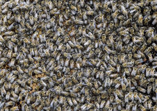 Un racimo denso de enjambres de abejas en las abejas, los abejones y el útero de trabajo de la jerarquía en un enjambre de abejas Fotos de archivo