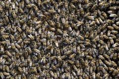 Un racimo denso de enjambres de abejas en las abejas, los abejones y el útero de trabajo de la jerarquía en un enjambre de abejas Fotos de archivo libres de regalías