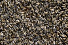 Un racimo denso de enjambres de abejas en las abejas, los abejones y el útero de trabajo de la jerarquía en un enjambre de abejas Imágenes de archivo libres de regalías
