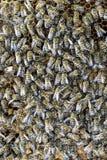 Un racimo denso de enjambres de abejas en las abejas, los abejones y el útero de trabajo de la jerarquía en un enjambre de abejas Imagen de archivo