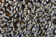 Un racimo denso de enjambres de abejas en las abejas, los abejones y el útero de trabajo de la jerarquía en un enjambre de abejas Fotografía de archivo libre de regalías