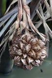 Un racimo globular de la fruta de la palma de nipa Fotos de archivo