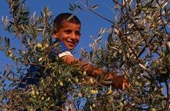 Un ragazzo palestinese che lavora in un oliveto, Palestina Immagini Stock