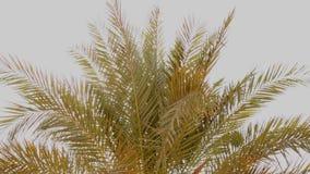 Un raggio del sole attraverso le foglie di palma, palma contro il cielo blu, il sole splende, corona delle foglie di palma sulla  archivi video