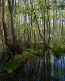 Un raggio di sole nei boschetti scuri della foresta della foresta Fotografia Stock Libera da Diritti