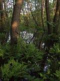Un raggio di sole nei boschetti scuri della foresta della foresta Fotografia Stock