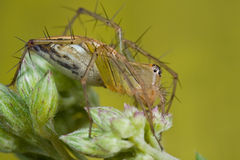 Un ragno arancione del lince sul wildflower Fotografia Stock
