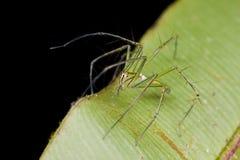Un ragno del lince Immagine Stock