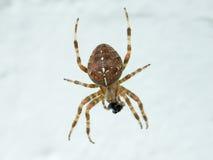 Un ragno del tessitore del globo Fotografia Stock