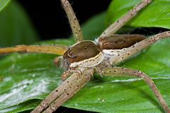 Un ragno della zattera Immagini Stock Libere da Diritti