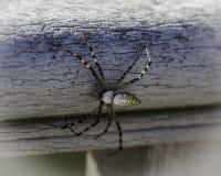 Un ragno di giardino Fotografia Stock Libera da Diritti