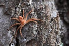 Un ragno di legno gigante sulla corteccia fotografia stock libera da diritti