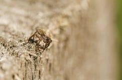 Un ragno di lupo di caccia & un x28; Pardosa& x29; Fotografia Stock Libera da Diritti