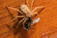 Un ragno di lupo ha cercato una mosca comune fotografia stock