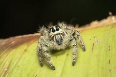 Un ragno di salto immagine stock