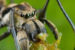 Un ragno di salto formica-mimico con la preda Immagini Stock