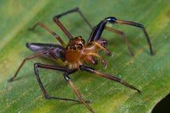 Un ragno di salto maschio rossastro Immagini Stock Libere da Diritti