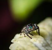 Un ragno di salto nero Fotografia Stock Libera da Diritti