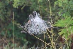 Un ragno nella sua pittura Fotografie Stock