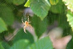 Un ragno sta tessendo il suo web in un cespuglio (Francia) Immagini Stock Libere da Diritti