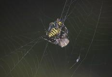 Un ragno trasversale che avvolge il suo catcth Fotografie Stock Libere da Diritti