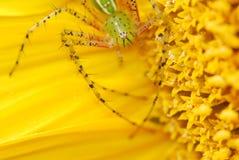 Un ragno verde in girasole Immagini Stock Libere da Diritti