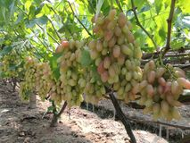 Un raisin appelé le doigt de beauté Photo libre de droits