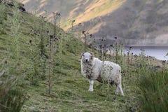 Un Ram simple, regardant l'appareil-photo, dans le paysage naturel du mi Pays de Galles, le R-U Images libres de droits
