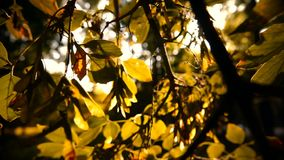 Un ramo con Autumn Leaves Through i raggi del Sun archivi video