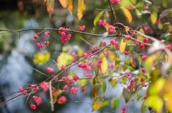 Un ramo con le bacche selvatiche Fotografie Stock Libere da Diritti