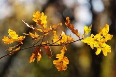 Un ramo con le foglie della quercia immagini stock libere da diritti