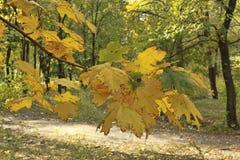 Un ramo con le foglie gialle dell'acero nella priorità alta immagine stock libera da diritti