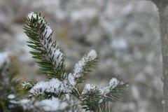 Un ramo coperto nevicato poco del pino Immagini Stock