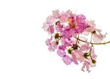 Un ramo de flor rosada de Bungor Imágenes de archivo libres de regalías