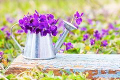 Un ramo de flores del bosque de violetas en una regadera de la lata en un tablero retro de madera azul en un primer del prado de  fotos de archivo